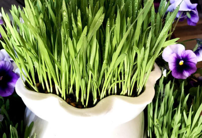 How to Grow Wheatgrass with easy printable instructions | Halfpint Design - Wheatgrass berries: Day 8 Ready to display. The grass blades have opened up. It is lush, full, and beautiful! All dressed up and I have to wait for Mother's Day to be appreciated!