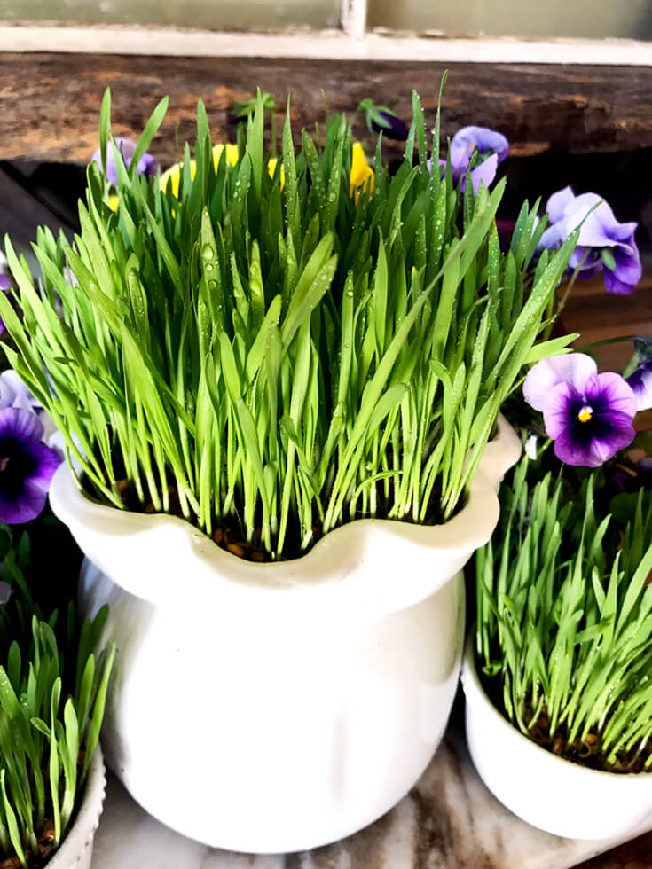 How to Grow Wheatgrass with easy printable instructions | Halfpint Design - Wheatgrass: Day 8 Ready to display. The grass blades have opened up. It is lush, full, and beautiful! All dressed up and no where to go. It'll have to wait for Mother's Day to be fully appreciated!
