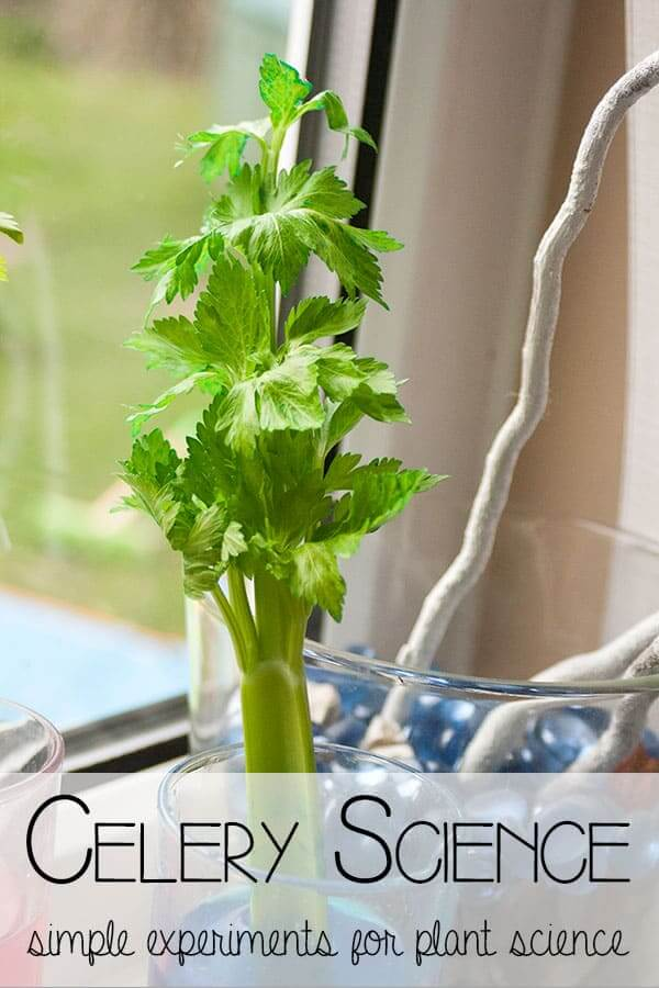 Celery edible science project